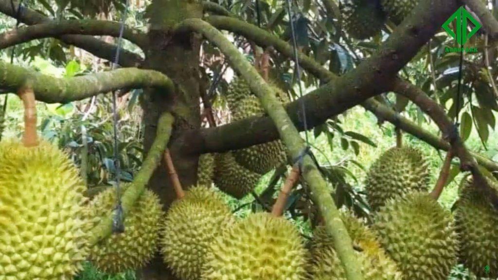 memanfaatkan sampah durian