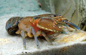 Peluang Bisnis dan Cara Lengkap Budidaya Lobster Air Tawar